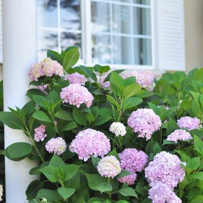 Growing Thriving Hydrangeas {Landscaping}
